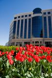 Spring Tulips at the Office. Red Spring Tulips Blooming in Office Complex Stock Images