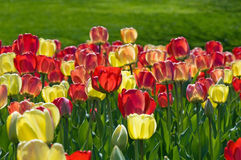 Spring tulips, one yellow amongst red Royalty Free Stock Photo