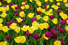 Spring tulips on opening. Spring tulips against sunshine for background Stock Photos