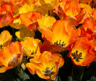Spring Tulips. From Oregon farm Stock Images