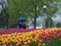 Spring tulips in the park. Beautiful tulips on Canadian Tulip Festival in Ottawa Stock Photo
