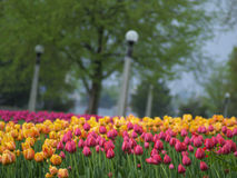Spring tulips in the park. Beautiful tulips on Canadian Tulip Festival in Ottawa Royalty Free Stock Photography