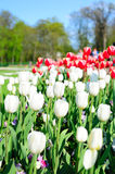 Spring tulips in the park Stock Photos