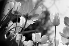 Spring tulips in the park, black and white royalty free stock image