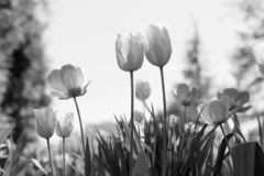 Spring tulips in the park, black and white royalty free stock photo