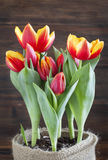 Spring tulips in pot. Royalty Free Stock Photo