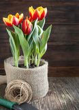 Spring tulips in pot Royalty Free Stock Photography