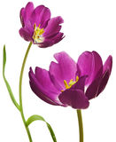 Spring Tulips in Purple Royalty Free Stock Photography
