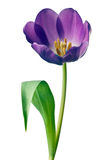 Spring Tulips in Purple Stock Photos