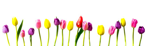 Spring Tulips in a Row Stock Photography