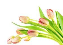 Spring tulips spray Royalty Free Stock Photos