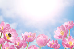 Spring tulips in sunny day. Spring and fresh view on pink tulips in sunny day Stock Photos