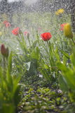 Spring tulips Royalty Free Stock Photography