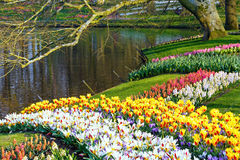 Spring tulips and varicolored hyacinths near pond. Royalty Free Stock Image