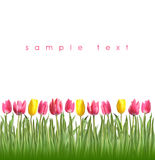 Spring tulips on a white background. Pink and yellow tulips Royalty Free Stock Photo