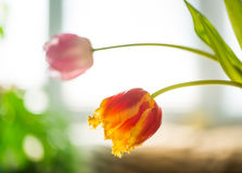Spring tulips at window light Stock Photography