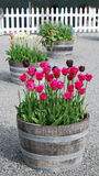 Spring tulipses in barrel Stock Images