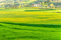 Spring at tuscany. The beautiful scenery of spring, with the first flowering of daffodil yellow, in the Tuscan hills (Italy Stock Photo