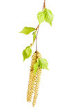 Spring twig birch with green leaves Stock Photos