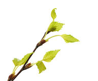Twig birch with green leaves Stock Images