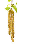 Spring twig of birch with young leaves and catkins. Isolated on white background. Selective focus stock images