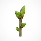 Spring twig with buds Royalty Free Stock Images