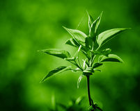 Spring twig of fresh green leaves. Royalty Free Stock Images