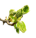 Spring twig of horse chestnut tree Stock Photography