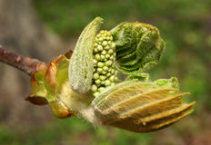 Spring twig of horse chestnut tree Royalty Free Stock Images