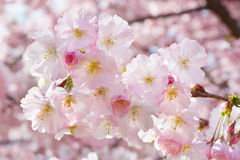 Spring twig with pink almond flowers Stock Image