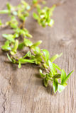 Spring twig Royalty Free Stock Images