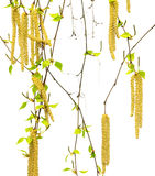 Spring twigs of birch with young leaves and catkins. Isolated on white background stock photography