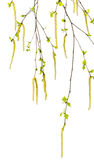 Spring twigs of birch with young leaves and catkins. Isolated on white background. Selective focus royalty free stock photos