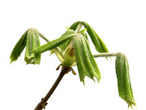 Spring twigs of horse chestnut tree with young green leaves Royalty Free Stock Image