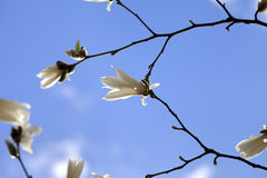 Spring twigs of magnolia with young flowering buds and blue sky Stock Photography