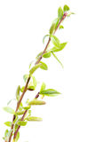 Spring twigs Stock Images