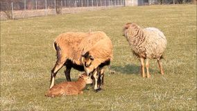 Spring, two ewe and two lambs, brown, meadow stock footage