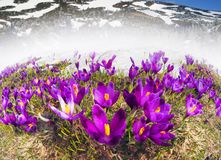 Dragobrat, the spring Carpathians. Spring in the Ukrainian Carpathians against the backdrop of wild snow tops and frosted spruces are shelters and ski slopes Royalty Free Stock Photo