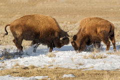 Bison Fight. Spring is unfolding in Yellowstone National Park. These two male bison are testing their strength royalty free stock images