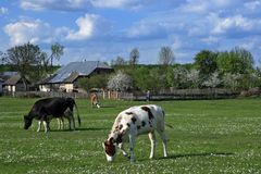Spring valley. Cows Stock Image