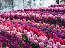 Spring varicolored hyacinths (closeup) Royalty Free Stock Photo