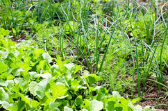 Spring vegetables garden. Radishes, scallions and fresh dill growing in the garden Stock Photos