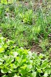Spring vegetables garden Royalty Free Stock Photo