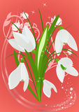 Spring vestive postcard. Delicate snowdrops on beautiful spring festive background Royalty Free Stock Images