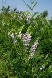 Spring vetch (Vicia sativa L.) Royalty Free Stock Image