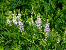 Spring vetch (Vicia sativa L.) Stock Photography
