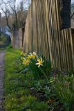 Spring vibes...Narcissus - various common names including daffodil, daffadowndilly, narcissus and jonquil stock photos