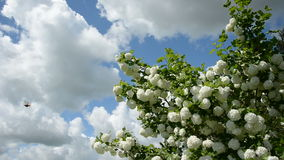 Spring viburnum blossoms on sky background