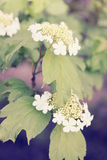 Spring viburnum,vintage Royalty Free Stock Image