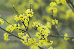 Spring view. Beautiful blooming tree with yellow flowers Royalty Free Stock Image